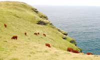 Cows grazing on the coast at Trevalga