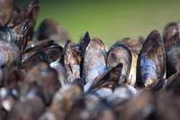 Mussels at Hole Beach