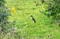 Stoat on Trewarmett Downs