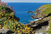 Wildflowers on the rugged cliffs around Tintagel Castle