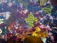 Seaweeds at Hole Beach